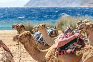groep kamelen in de buurt van de zee foto