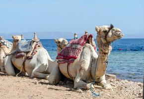 kamelen bij de oceaan