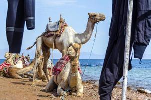 kamelen in de buurt van de oceaan foto