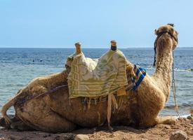 kameel in de buurt van water foto
