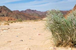 groene plant met witte bloemen in de woestijn foto