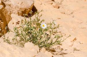 witte madeliefjes in het zand
