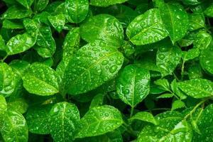 mooie groene bladeren met druppels water foto