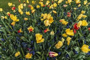 gele, rode en blauwe irissen in een veld