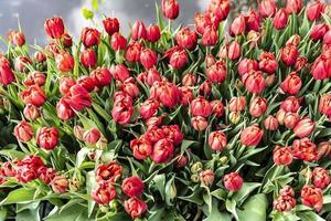 rode tulpen openen voor de lente
