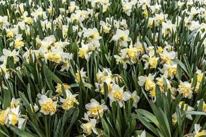 witte en gele irissen bloeien