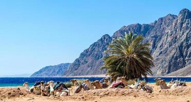 kamelen in het zand