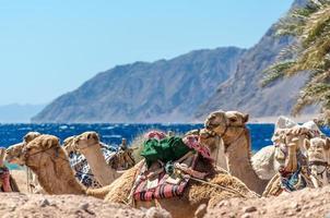 close-up van een groep kamelen foto