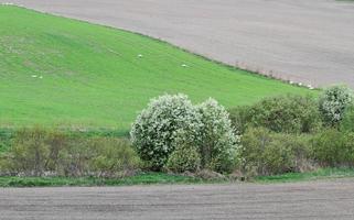Europese vogelkers bloeien door een sloot