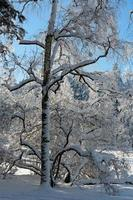 een besneeuwd landschap met besneeuwde jonge berk foto