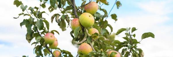 tak van een appelboom in de tuin op hemelachtergrond foto