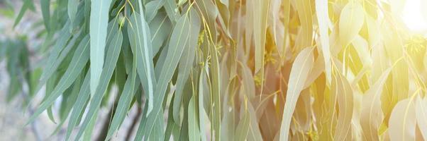 eucalyptusboom op natuur buiten achtergrond foto