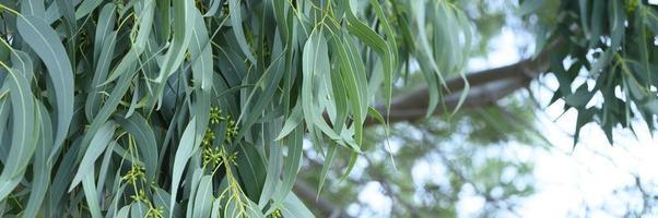 eucalyptus bladeren. tak eucalyptus boom natuur buiten achtergrond foto