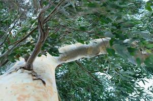 eucalyptusboom en takken foto