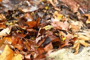 gevallen herfst esdoorn bladeren foto