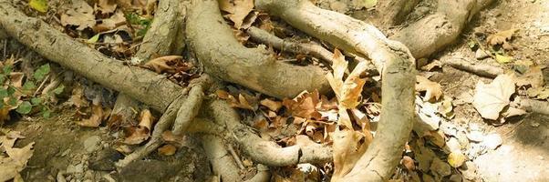 kale wortels van bomen die in de herfst uit de grond steken in rotswanden foto