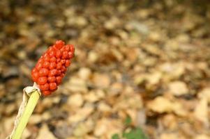 aronskelk plant met rijpe rode bessen in het bos foto