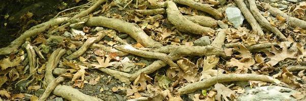 kale wortels van bomen die uit de grond steken foto