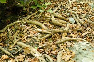 kale wortels van bomen die in de herfst uit de grond steken in rotswanden en gevallen bladeren foto