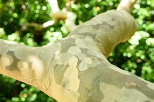 gevlekte eucalyptusboomschors en groen gebladerte foto