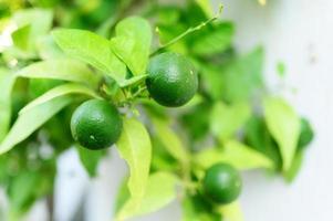 onrijpe groene citroenen aan een boom in de tuin foto