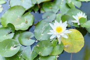 een prachtige witte lelie bloeit tussen de waterlelies in de vijver foto