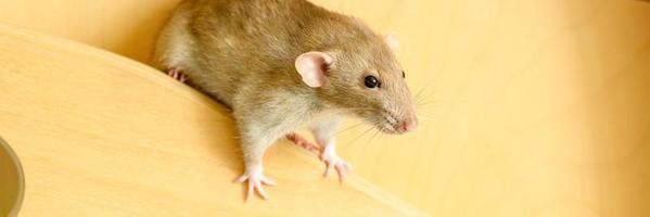 schattige huisdieren pluizige rat met bruin beige bont op een witte achtergrond foto