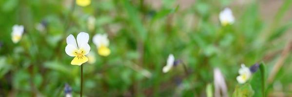 viola arvensis bloeit in volle bloei foto