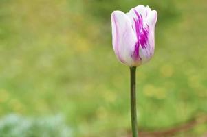 tulp paarse knop foto