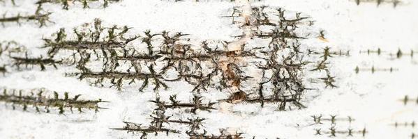 berkenschors boom achtergrond foto