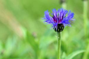 paarse korenbloembloem foto