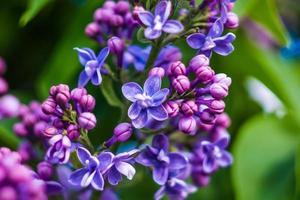 prachtige paarse bloemen in het voorjaar foto