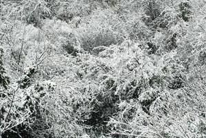 sneeuw bedekte bomen foto