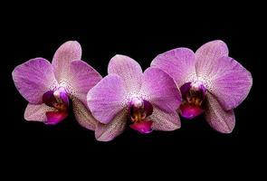 roze orchideeën geïsoleerd op een zwarte achtergrond foto
