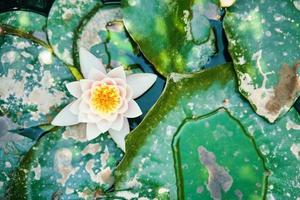 waterlelie tussen het groene gebladerte foto