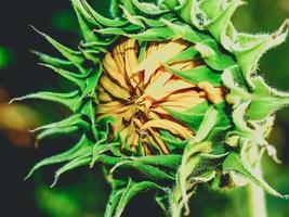 zonnebloem veld in de natuur foto