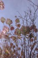 hortensia's aan een boom foto