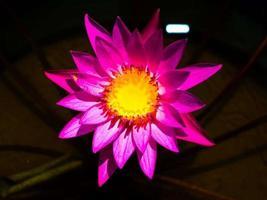 lotusbloem in de natuur foto