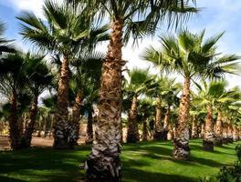 palmbomen en groen gras foto