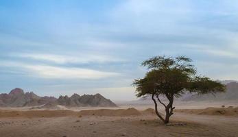 boom in de woestijn foto