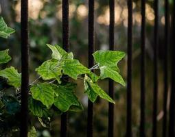 groene bladeren tegen een roestig ijzeren hek