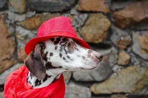 Dalmatische hond in een rode hoed en sjaal