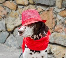 Dalmatiër in een rode hoed en sjaal