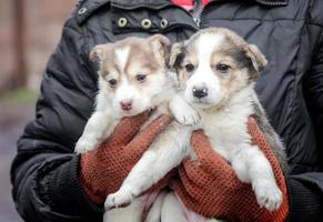 twee kleine puppy's in menselijke handen foto