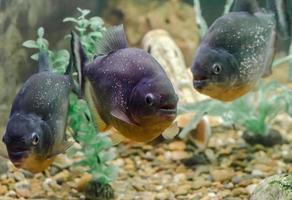 drie piranha-vissen
