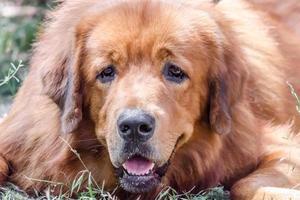close-up van een Tibetaanse mastiff-hond