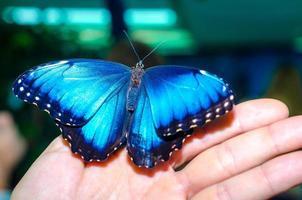 helderblauwe vlinder op een hand foto