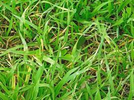 stukje groen gras voor achtergrond of textuur foto