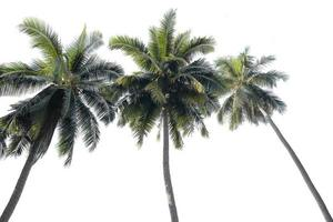 kokos palmboom geïsoleerd op een witte achtergrond foto
