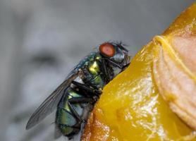 macro close-up van een huisvlieg cyclorrhapha, een veel voorkomende vliegensoort die in huizen wordt aangetroffen